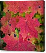 Early Fall Of Norway Maple Canvas Print