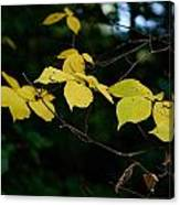 Early Fall Of Wych Elm Canvas Print