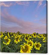 Early Morning Sunflowers Canvas Print