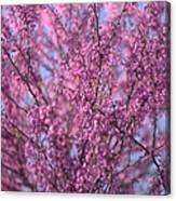 Early Spring Flowering Redbud Tree Canvas Print