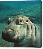 East African River Hippopotamus Baby Canvas Print