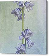 Easter Hyacinth Canvas Print