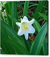 Easter Lily Canvas Print