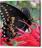 Eastern Black Swallowtail And Bee Balm Canvas Print