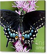 Eastern Black Swallowtail Butterfly Canvas Print