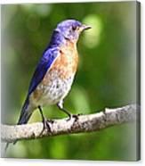 Eastern Bluebird - After His Bath Canvas Print
