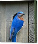 Eastern Bluebird At Nest Canvas Print