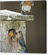 Eastern Bluebird Family Canvas Print