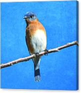 Eastern Bluebird II Canvas Print
