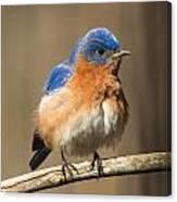 Eastern Bluebird Male Ruffled Canvas Print
