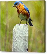 Eastern Bluebird Pose Canvas Print