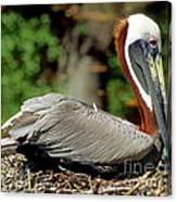 Eastern Brown Pelican Canvas Print