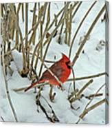 Eastern Cardinal - Cardinalis Cardinalis Canvas Print