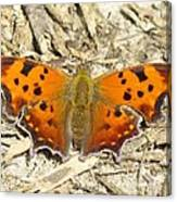 Eastern Comma Canvas Print