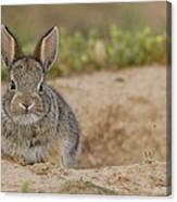 Eastern Cottontail Wyoming Canvas Print