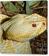 Eastern Diamondback Rattlesnake Albino Canvas Print