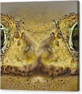 Eastern Giant Toad Canvas Print