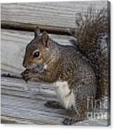 Eastern Gray Squirrel-4 Canvas Print