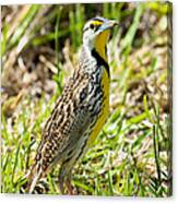 Eastern Meadowlark Canvas Print