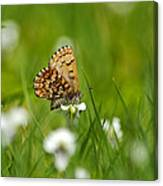 Eastern Pine Elfin Butterfly Canvas Print
