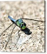 Eastern Pondhawk Canvas Print