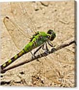 Eastern Pondhawk Dragonfly Canvas Print