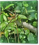 Eastern Pondhawk Female Dragonfly - Erythemis Simplicicollis - On Pine Needles Canvas Print