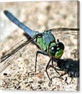 Eastern Pondhawk Side Canvas Print