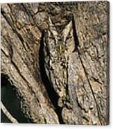 Eastern Screech-owl Otis Asio Wild Texas Canvas Print