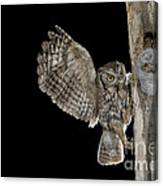 Eastern Screech Owls At Nest Canvas Print