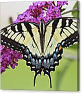 Eastern Swallowtail  Canvas Print