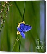 Eastern Tail Blue Butterfly Canvas Print