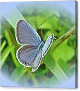 Eastern-tailed Blue Butterfly - Cupido Comyntas Canvas Print