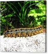 Eastern Tent Caterpillar Canvas Print