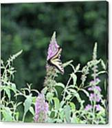 Eastern Tiger Swallowtail Butterfly -  Featured In Wildlife Group Canvas Print