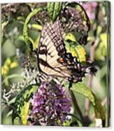 Eastern Tiger Swallowtail - Butterfly Canvas Print