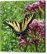 Eastern Tiger Swallowtail On Joe Pye Weed Canvas Print
