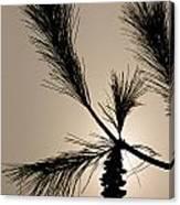 Eastern White Pine Canvas Print