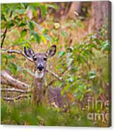 Eastern Whitetail Deer Canvas Print