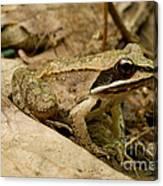 Eastern Wood Frog Canvas Print