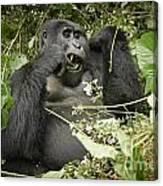 Eating Mountain Gorilla Canvas Print