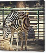 Eating Zebra Canvas Print