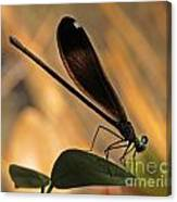Ebony Damselfly Canvas Print