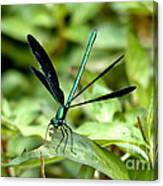 Ebony Jewelwing Canvas Print