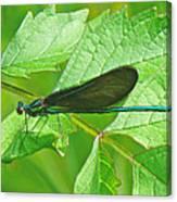 Ebony Jewelwing Damselfly - Calopteryx Maculata Canvas Print