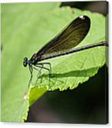 Ebony Jewelwing Damselfly  Canvas Print