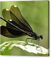 Ebony Jewelwing Fluttering For Male Canvas Print