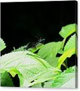 Ebony Jewelwing Male Canvas Print