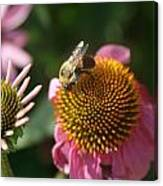 Echinacea And Bee Canvas Print