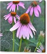Echinacea Pallida Canvas Print